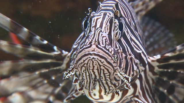 Florida's lionfish invasion