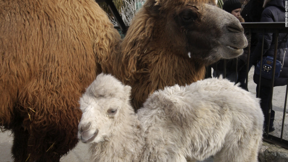 A rare baby two-humped camel stands with its mother in a private zoo at the Crimean resort of Yalta.
