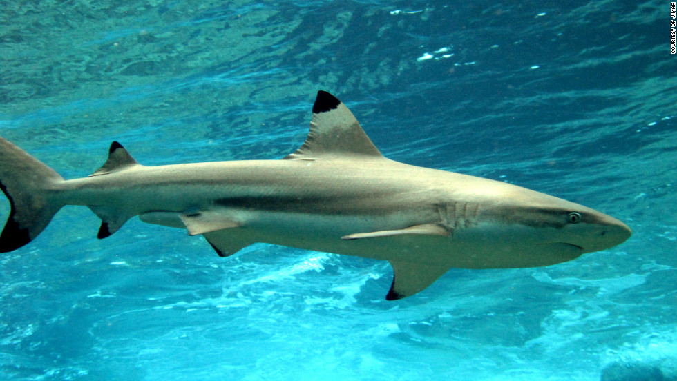 "A blacktip reef shark. Baum says reef sharks are the ""apex predators"" of coral reefs and like predators in other eco-systems play important roles in structuring food webs."