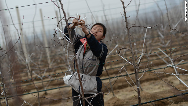 A North Korean woman works on an apple farm near Pyongyang on April 10, 2012.