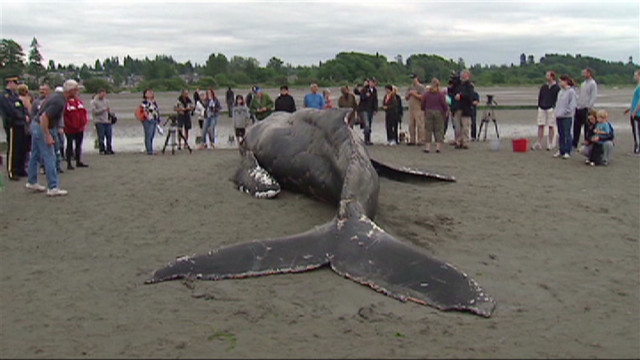 Humpback whale beaches, dies
