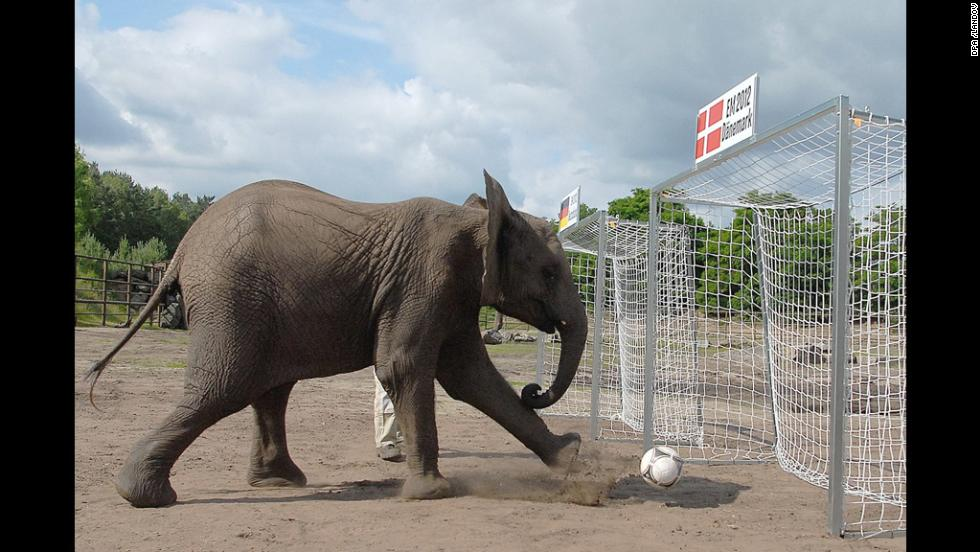 A handout picture shows elephant Nelly kicking a soccer ball into the Danish goal at Serengeti Park in Hodenhagen, Germany, on Thursday, thus predicting a win for Germany in their Euro 2012 match.