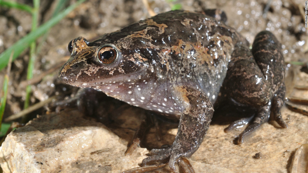 "They may not be as glamorous as pandas, tigers, or orangutans, but nearly one-third of amphibian species are on the verge on extinction. This Hula Painted Frog (Discoglossus nigriventer), which is found in Lake Huma, Israel, is classified as ""critically endangered"" by the International Union for Conservation of Nature, and was thought to be extinct until 2011."