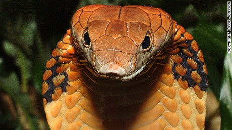 How nature's deadliest venoms are saving lives