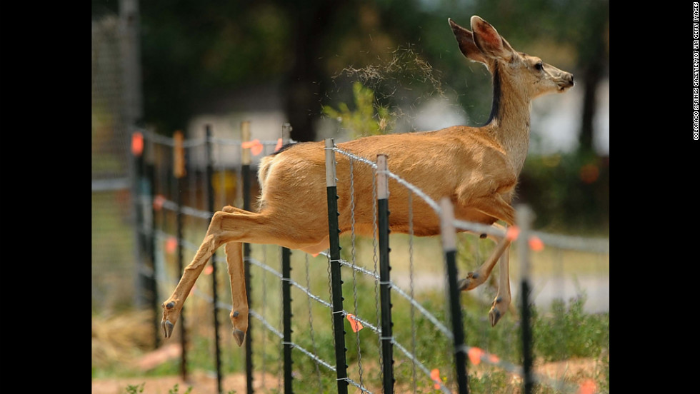 A deer jumps through a fence along U.S. Highway 24 while escaping the Waldo Canyon Fire near Colorado Springs on Sunday.