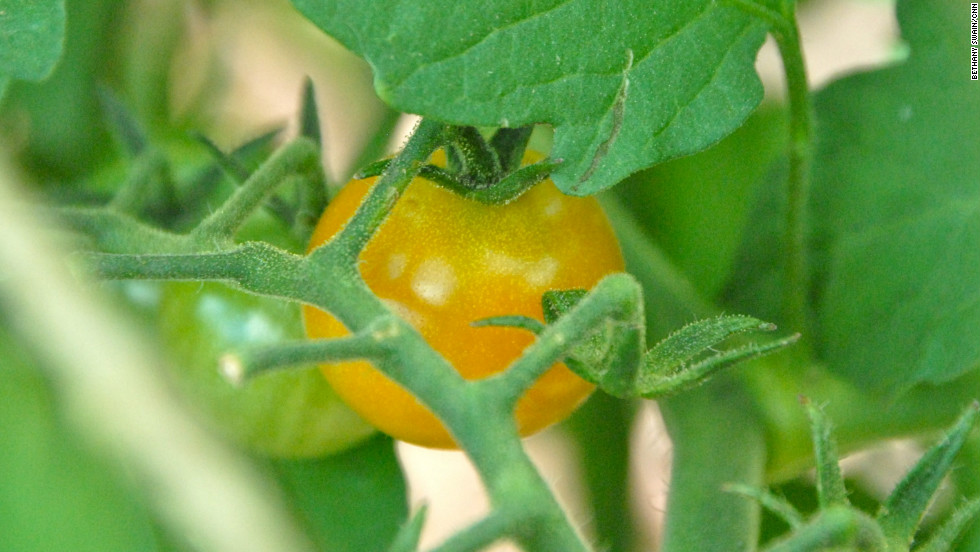 An unripe tomato peeks through the leaves.