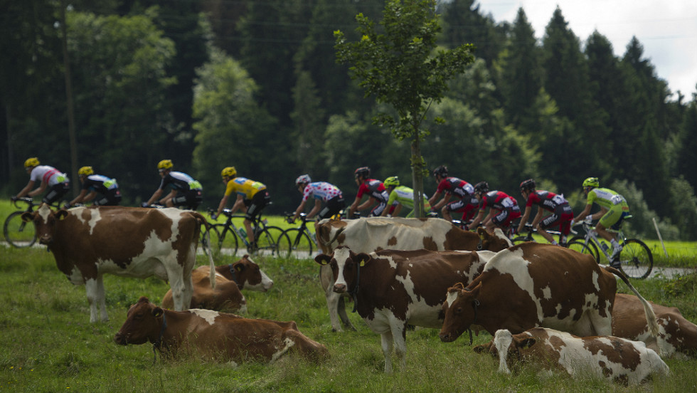 The pack rides past a field of cows in the French countryside Sunday.