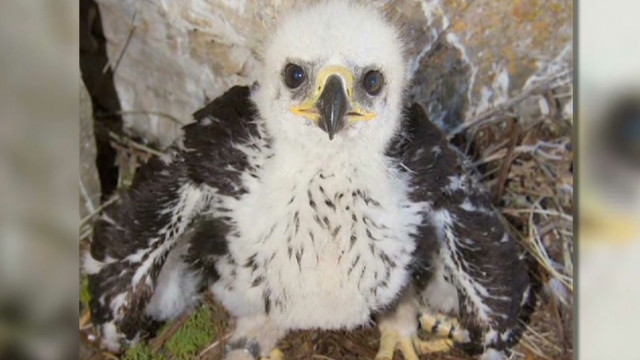 Baby eagle 'Phoenix' survives wildfires