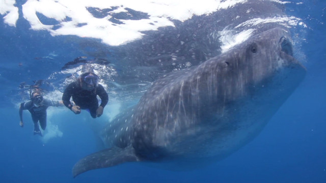 Underwater video of whale shark swim
