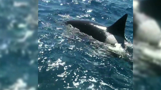 Boaters encounter killer whale