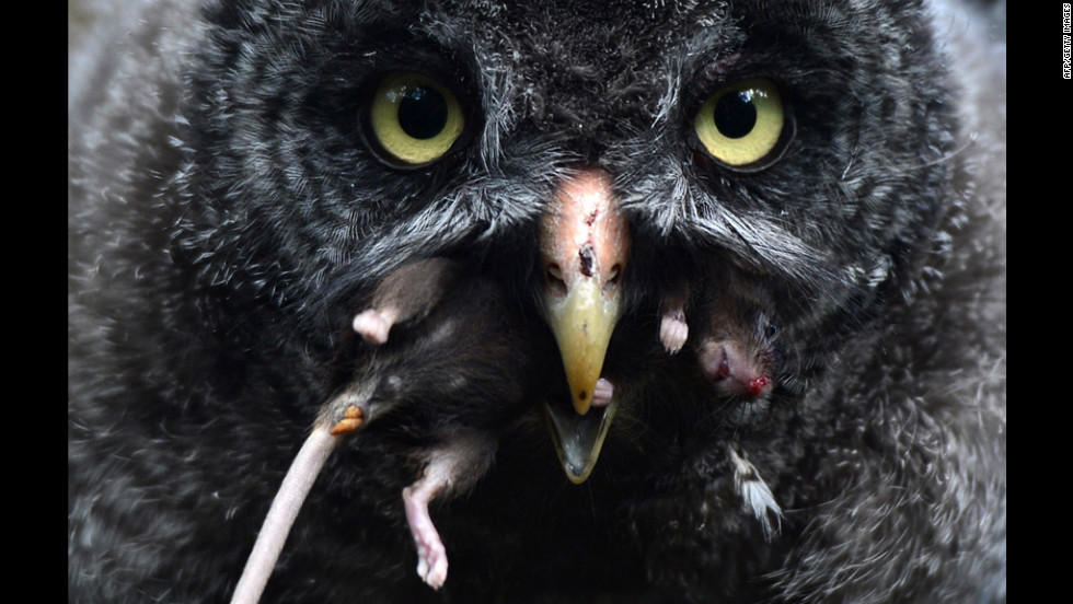 A young great gray owl enjoys a mouse Tuesday in the owl enclosure at the Berlin Zoo. Five female great gray owls hatched at the zoo on May 18.