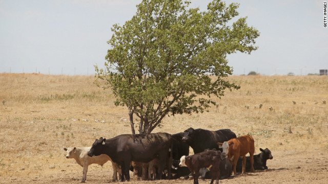 Cattle use a tree for shade as temperatures rose above 100 degrees in a pasture near Canadian, Texas, last week.