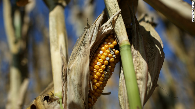 A rotting ear of corn sits on a struggling corn plant in a drought-stricken farm in Iowa.