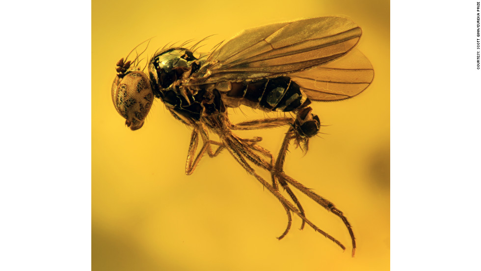This fly is preserved in 40-million-year-old Baltic amber -- fossilized tree resin. Photo by Scott Ginn.