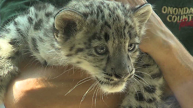 baby snow leopards wsyr_00001029