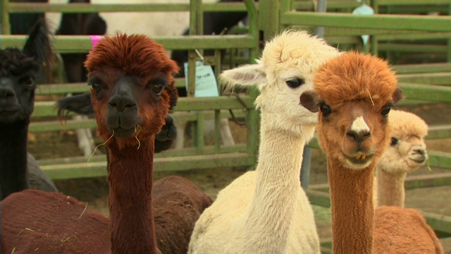 Alpacas take refuge from fire at Washington fairground