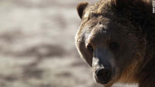 Grizzly bear attacks are not common, though they are not unprecedented.