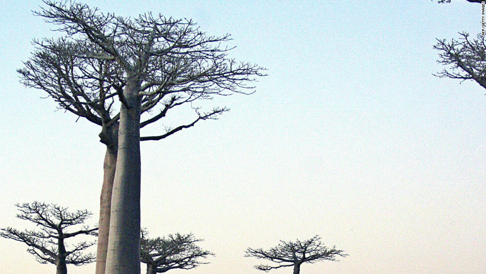 Baobab trees have long been used for various purposes, including providing food, shelter and water to rural communities in Madagascar.