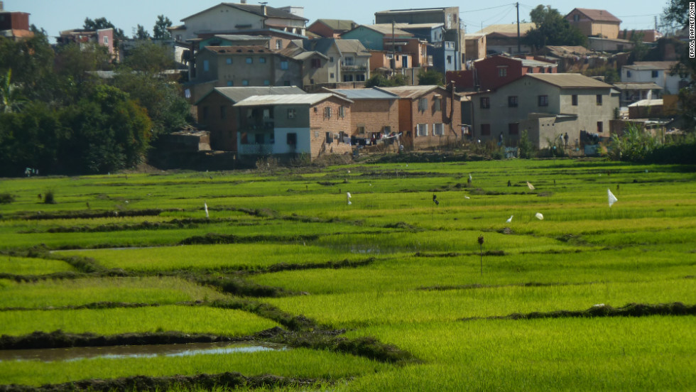 Paddy fields are quite common throughout Madagascar. They represent a staple of the Malagasy diet, rice. They also reinforce the fact that the people can trace their ancestry to Southeast Asia.