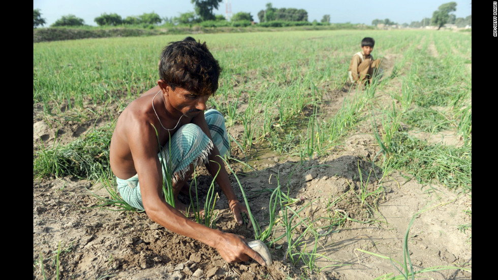 Pakistani villagers work in an onion field in Tando Allahyar in the flood-hit Sindh province on September 28, 2011.