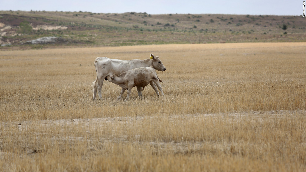 A calf strains for mother's milk as they forage amid dry wheat husks on the Becker farm August 24 in Logan, Kansas.
