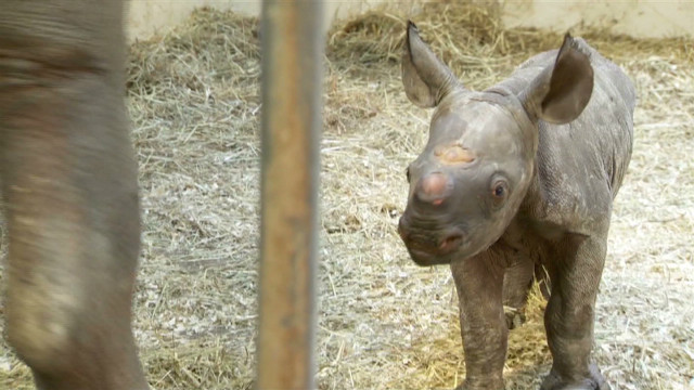dnt baby rhino born pittsburgh zoo_00010824