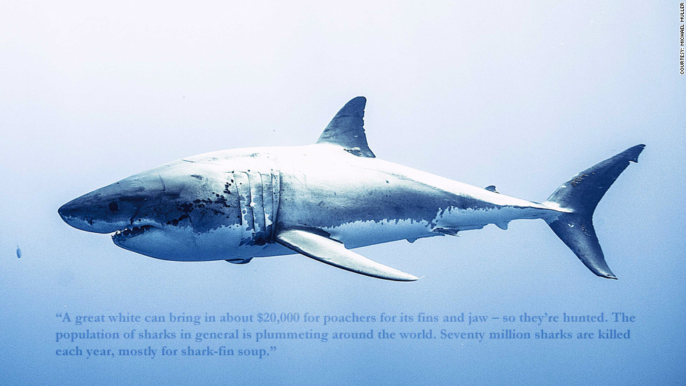 "Phillippe Cousteau: ""A great white can bring in about $20,000 for poachers for its fins and jaw -- so they're hunted. The population of sharks in general is plummeting around the world. Sevently million sharks are killed each year, mostly for shark-fin soup."""