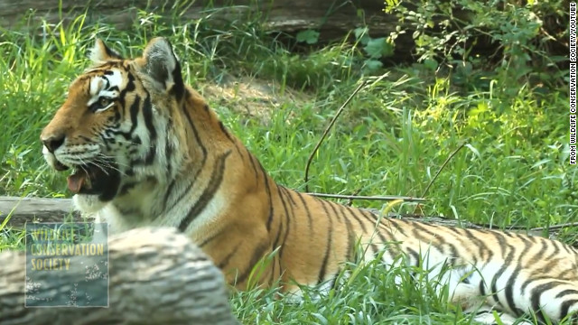 The exhibit houses Amur tigers, also known as Siberian tigers, as well as Malayan tigers.