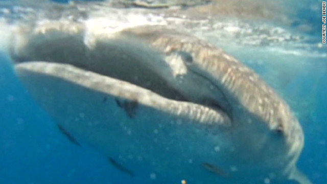 Fisherman films whale shark up close