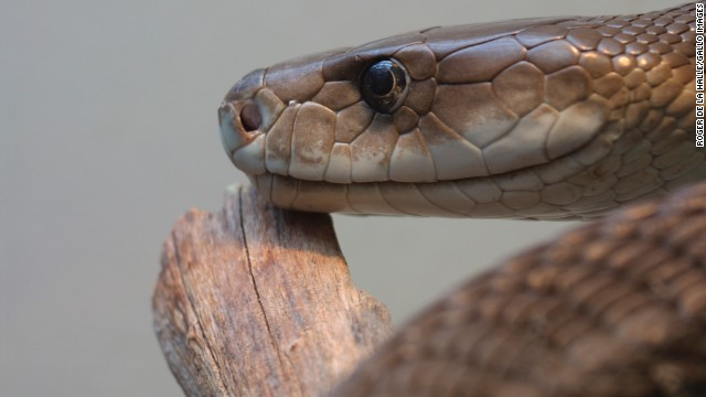 The black mamba snake is one of the world's deadliest reptiles.