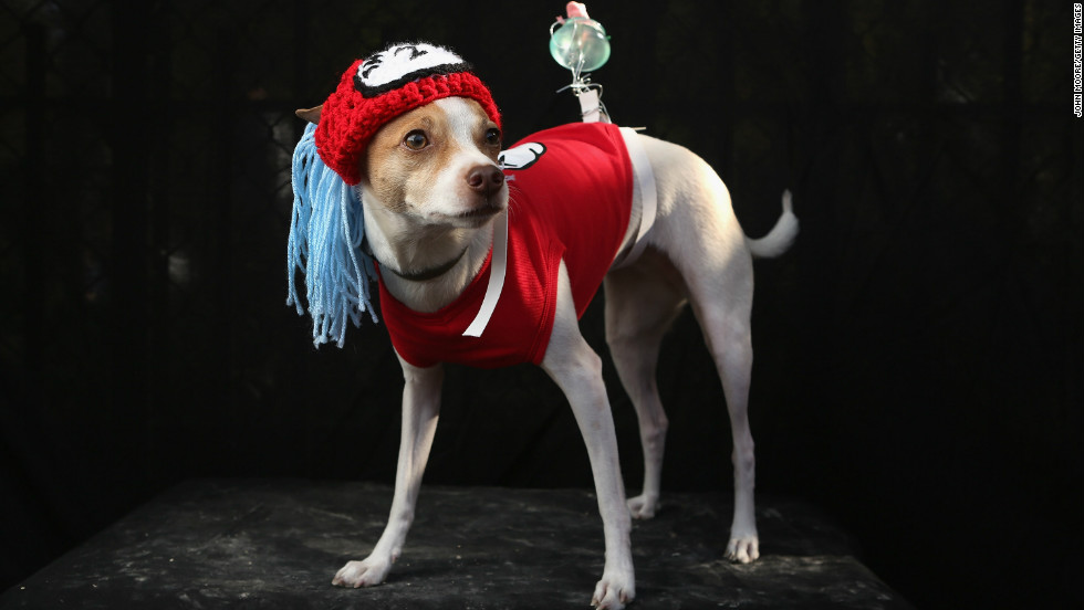 Dollar, a Toy Fox Terrier, poses as Dr. Seuss character Thing 2 at the Tompkins Square Halloween Dog Parade on October 20, 2012 in New York City.