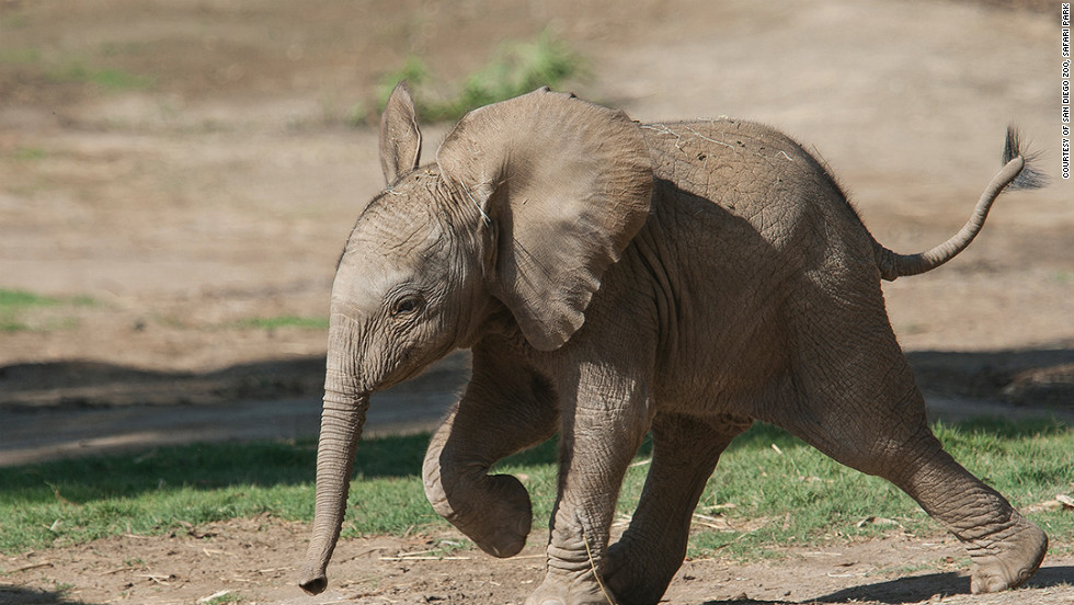 Qinisa, the baby girl elephant at the San Diego Zoo's Safari Park, can already use her trunk to pick up objects.