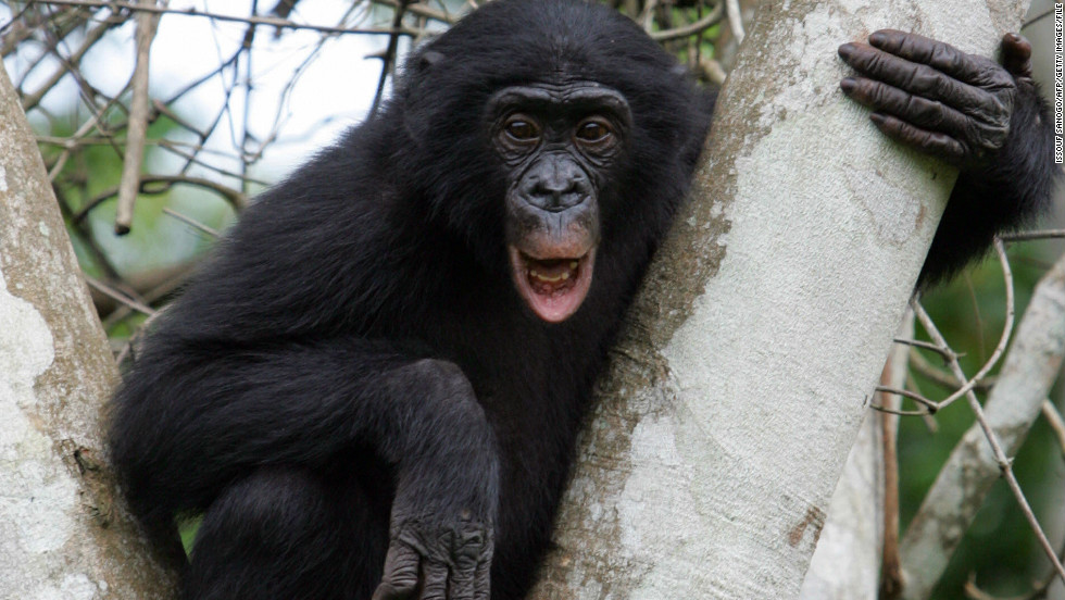 "Also called ""pygmy chimpanzees,"" bonobos feed mainly in trees."