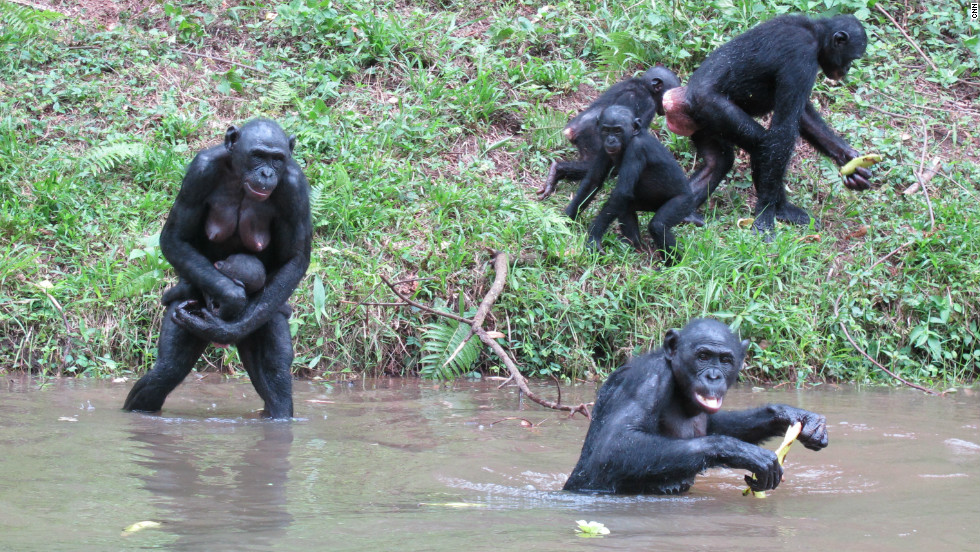 Female bonobos are usually in charge of the group. Bonobos mate and use a variety of sexual behaviors to build social relationships.