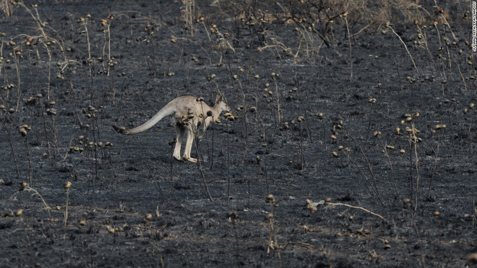 A kangaroo hops through a field burned by recent fires in Sunbury north of Melbourne on January 8.