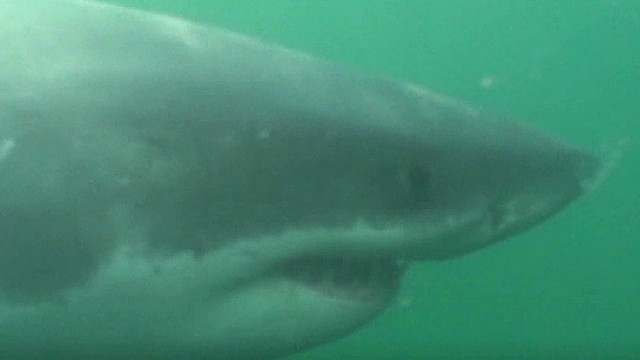 Massive shark off Florida coast