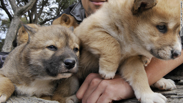 (File photo) Archaeological records suggest the Indian migrants may have brought dingoes.