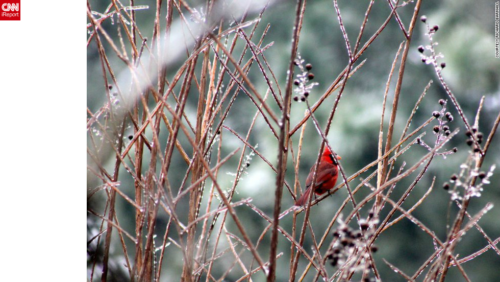 "After a late January ice storm in Greenville, North Carolina, Richard Barnhill was walking around his parents' yard <a href=""http://ireport.cnn.com/docs/DOC-917751"">when he spotted this cardinal</a> and ""took as many pictures as I could."""