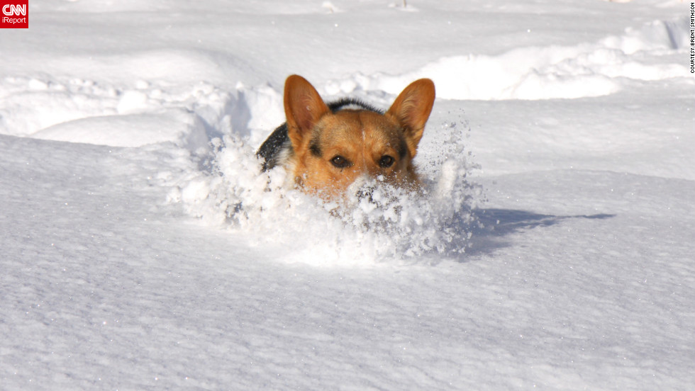 "Shooty the corgi motors through a foot of snow in Greenbrier, Arkansas. ""Sometimes we couldn't see him because it was so deep,"" said Brent Smithson, who <a href=""http://ireport.cnn.com/docs/DOC-902299"">shot this photo</a> December 26."