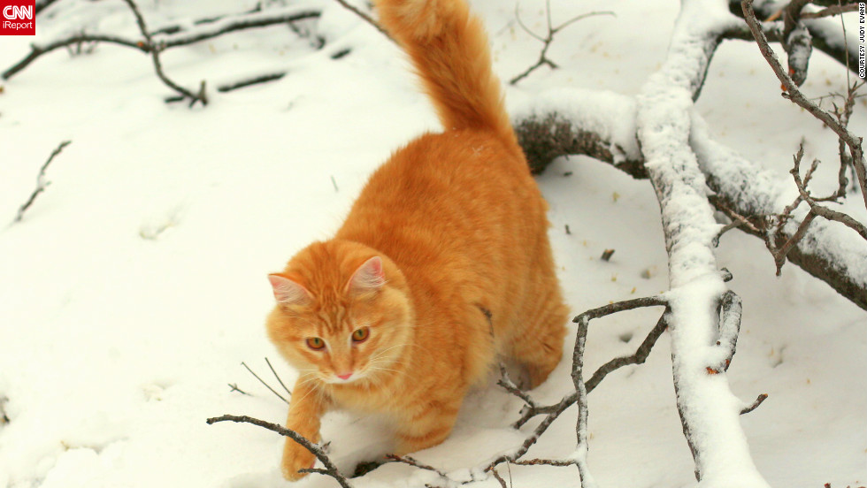 "Jimmie, a 10-month-old orange tabby, enjoys <a href=""http://ireport.cnn.com/docs/DOC-919129"">his first snow</a> on Christmas Day. ""He is totally fearless,"" says Judy Evans of Fort Worth, Texas. ""His little eyes were full of wonder just as a child's first snow would be!"""