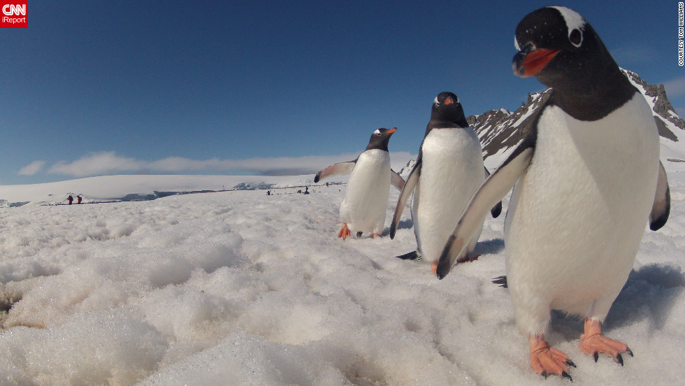 "This Gentoo penguin was a bit curious about Tom Williams' camera as Williams explored Antarctica in December. ""The penguins can be watched for hours with enthusiasm,"" he said. ""Hundreds of them were walking in lines to and from the water. Generally, they would avoid coming too close, but this little guy <a href=""http://ireport.cnn.com/docs/DOC-905295"">was a bit curious</a> and decided to investigate and peek into the camera."""
