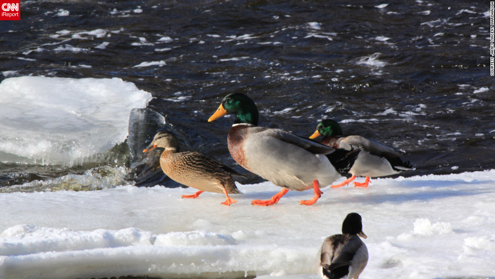 "These ducks' orange feet show up nicely against the Tweed, Ontario, Canada, ice and snow. James Vincent Wardhaugh captured this photo <a href=""http://ireport.cnn.com/docs/DOC-918488"">and others</a> on January 28."