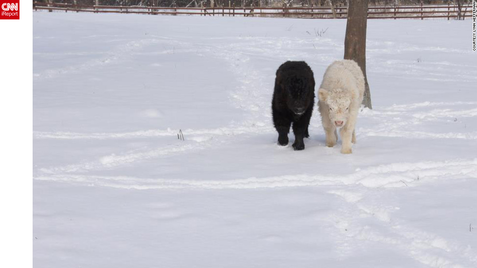 "These two calves weren't even a month old when they experienced their first snow in Lake Villa, Illinois. ""Good thing they come with <a href=""http://ireport.cnn.com/docs/DOC-920799"">lots of fuzzy fur</a>,"" said Laura Heffernan. Her sister-in-law, Lynn Heffernan, shot this photo on February 2."