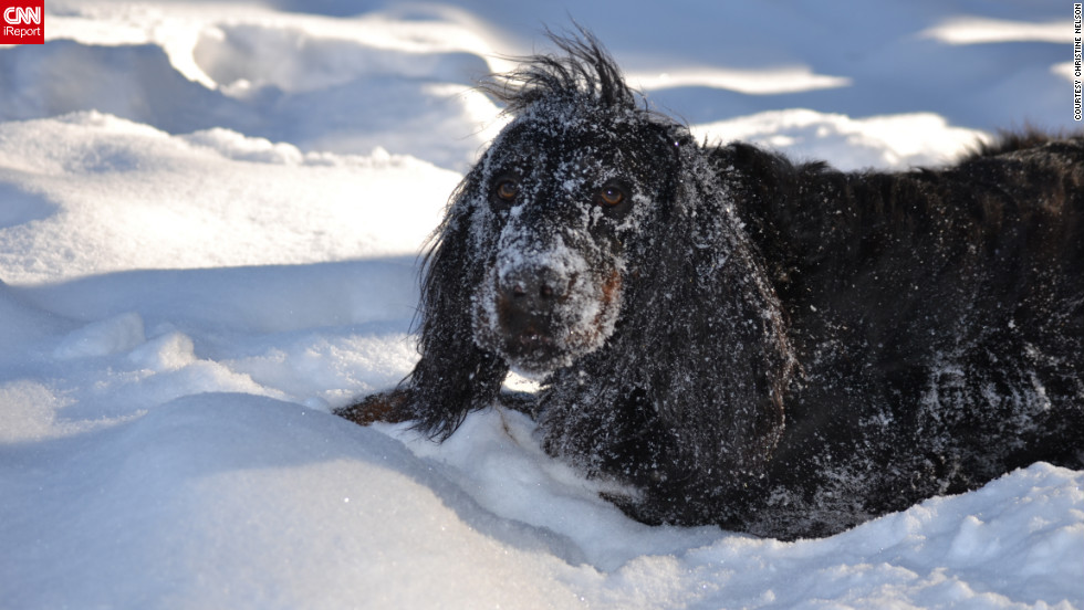 "Pete, a 9-year-old Gordon setter, ""loves to burrow and roll around"" in the Eveleth, Minnesota, snow, said Christine Nelson. ""It looks like he's making snow angels!"" Nelson captured this shot of <a href=""http://ireport.cnn.com/docs/DOC-920929"">snowy Pete</a> on February 5."