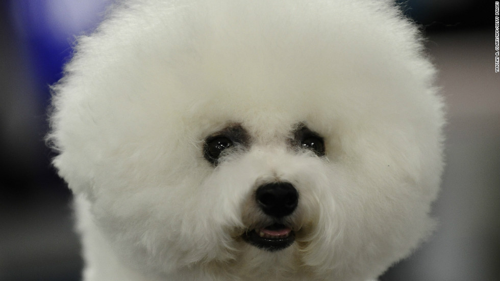 "An old companion breed from the Mediterranean, <a href=""http://www.westminsterkennelclub.org/breedinformation/non-sporting/bichonf.html"" target=""_blank"">Bichon Frises</a>, developed a knack for inspiring painters. They often appear in Renaissance art."
