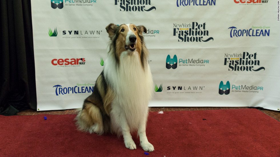 "A collie strikes a pose. The dog was on the runway in commemoration of the 75th anniversary of ""Lassie."""