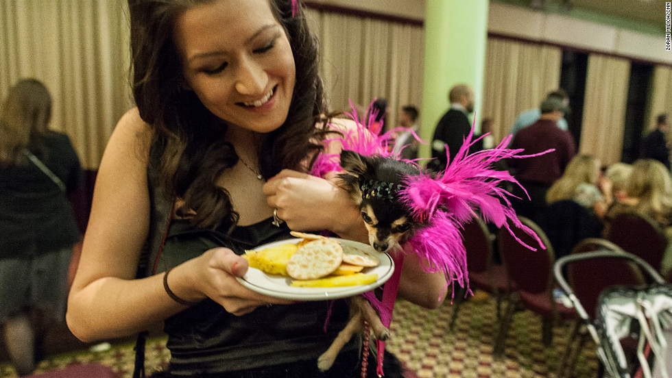 A New York Pet Fashion Show participant sniffs a snack.