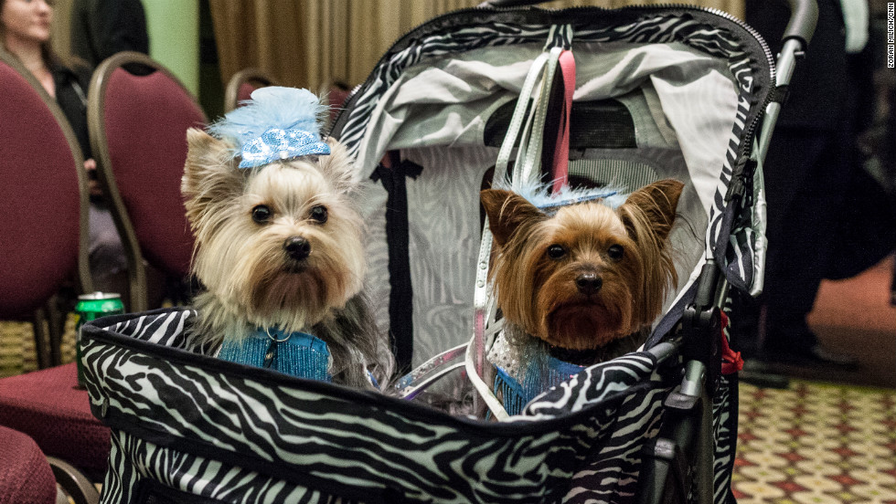 Two New York Pet Fashion Show dogs wait to walk the catwalk.