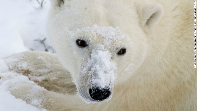 A polar bear searches the snow for food.  It has been several months since it has eaten.