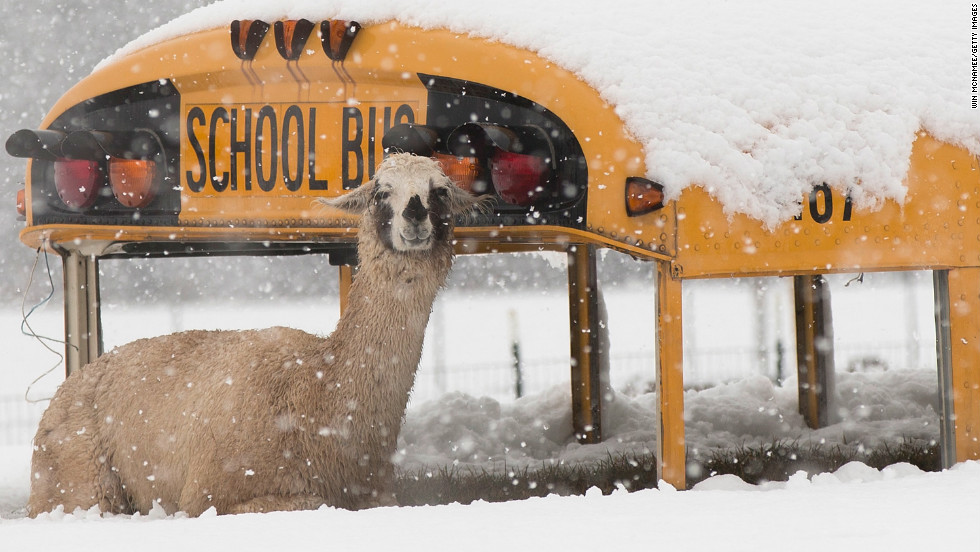 A llama sits atop an abandoned school bus at Cox Farms in Centreville, Virginia on March 6.